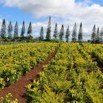 A Guide to Dole Plantation in Wahiawa, Hawaii