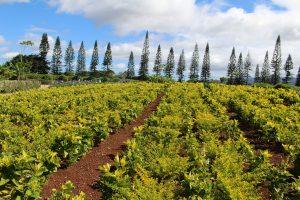 Oahu, Hawaii: Dole Plantation